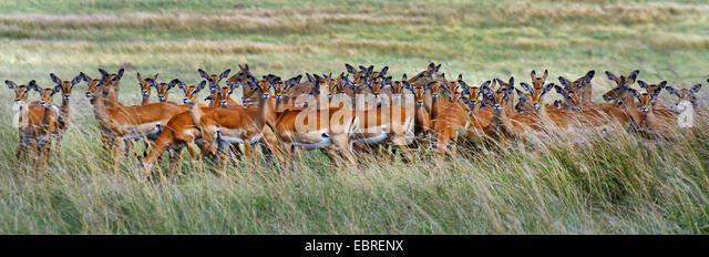 impala (Aepyceros melampus), herd in high grass, Kenya, Masai Mara National Park - Stock Image