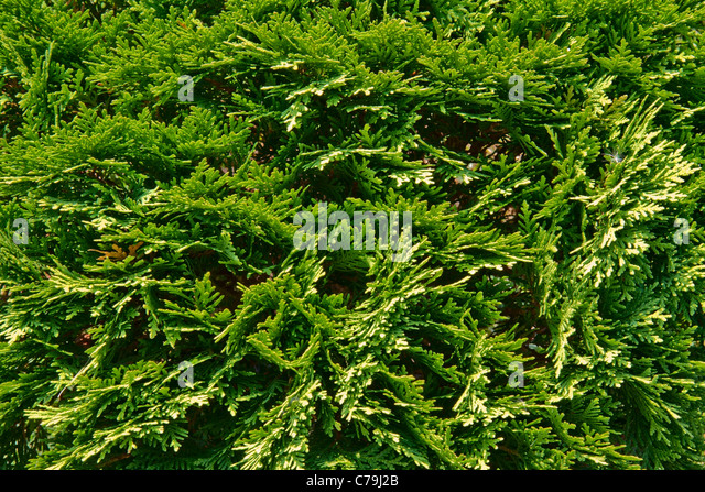 Background from a juniper branch - Stock Image