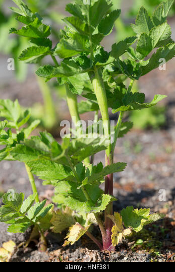 Echter Pastinak, Blatt, Blätter vor der Blüte, Pastinake, Hammelsmöhre, Pastinaca sativa, parsnip - Stock Image