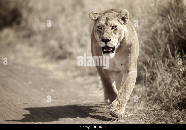 Female lion running. Serengeti National Park . Tanzania - Stock Image