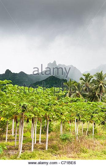 Paypaya plantation and mountains, Rarotonga, Cook Islands. - Stock Image