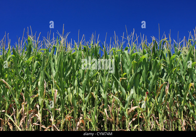 maize field and blue sky - Stock Image