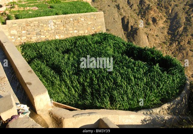 Tiny grain plot in the village of Ash Shirayjah, Saiq Plateau, Jebel al Alkhdar, Sultanate of Oman - Stock Image