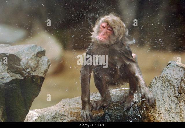 Japanese macaque Macaca fuscata shaking off water on emerging from hot pool in Jigokudani monkey park Japan - Stock Image
