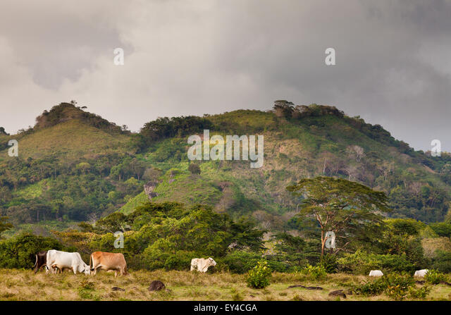 Cattle in the farmlands near La Pintada in the Cocle province, Republic of Panama. - Stock-Bilder