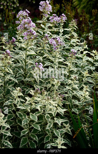 Phlox paniculata Norah Leigh pink flowers flower variegated foliage flowering late summer autumn colour color RM - Stock Image