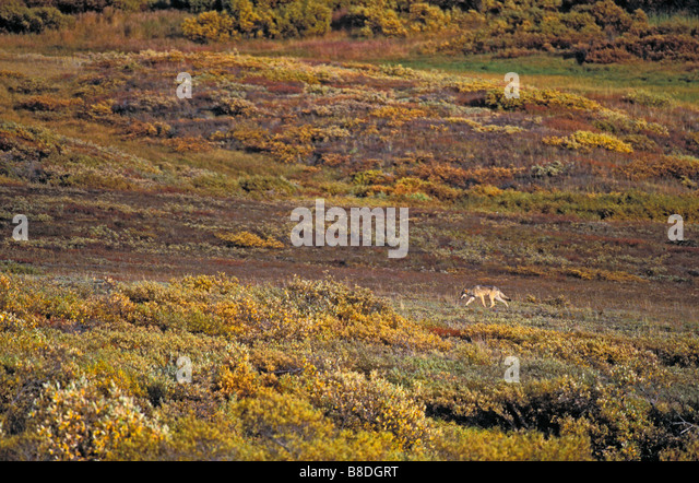 T Kitchin; 19804D, Lynx, Rocky Mtns, Winter - Stock Image