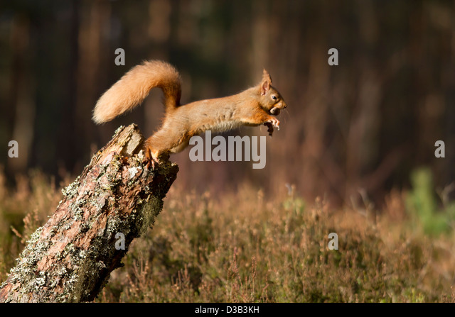 Red Squirrel jumping off a log, Scottish Highlands - Stock Image