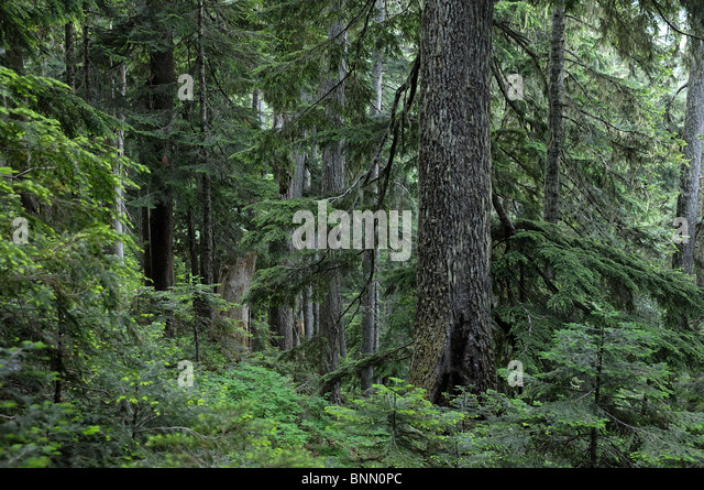 Forest Lookout Mountain Trail Mt. Baker-Snoqualmie National Forest Marblemount North Cascades National Park Washington - Stock Image