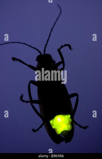 Firefly Flashing at Night - Lightning Bug - Glow Worm - Stock Image