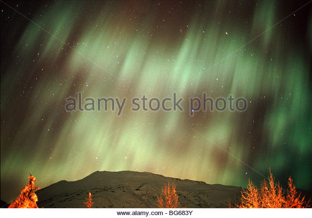 Alaska. The Northern Lights (Aurora Borealis) contrast with snow-covered Cottonwood (Populus balsamifera). - Stock Image