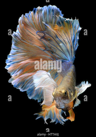Colorful  waver of Betta Saimese fighting fish  beauty and freedom in black background photo with studio flash lighting. - Stock Image