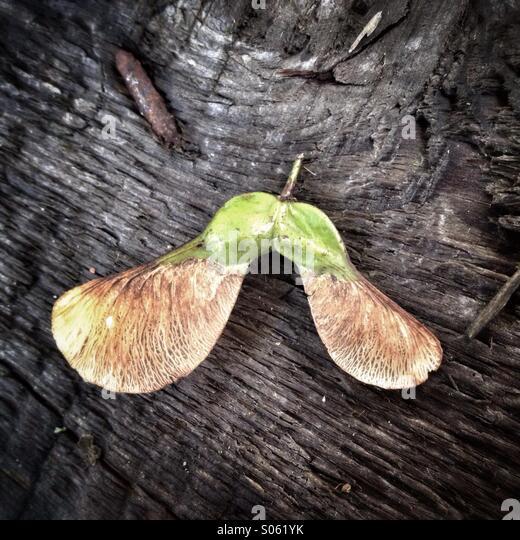 Sycamore seeds - Stock-Bilder