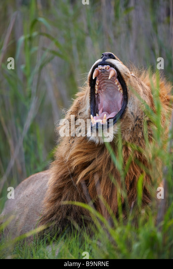 lion yawning in the bush, Kruger National Park, South Africa - Stock Image
