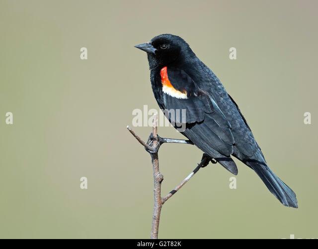 Male Red-winged Blackbird - Stock-Bilder