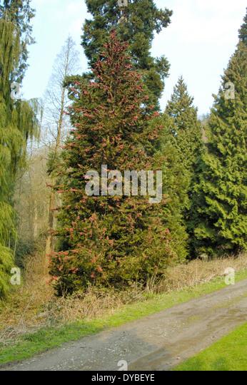 Lawson's Cypress, Chamaecyparis lawsoniana - Stock Image