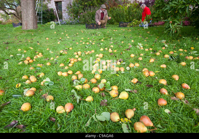 Pears being harvested to make perry in an orchard at Acorn Bank, near Penrith, Cumbria, UK. - Stock Image