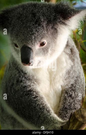 Koala Bear, Australia Zoo, Queensland, Australia - Stock-Bilder