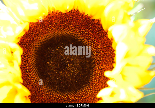 striking impressive sunflower head - fine art photography Jane-Ann Butler Photography JABP583 - Stock Image