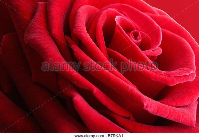 Rosa - Red Rose - Stock-Bilder