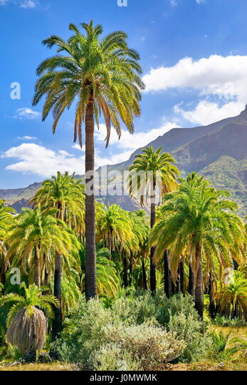 Canarian landscape with palm tree, Gran Canaria, Spain - Stock Image