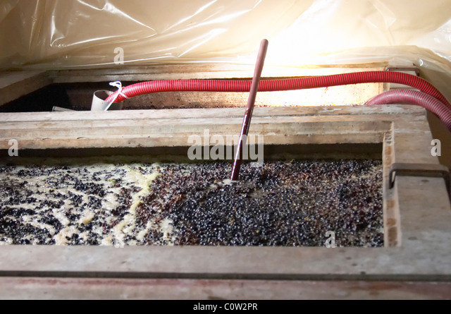 pinot noir fermenting must and grapes with thermometer  nuits-st-georges cote de nuits burgundy france - Stock Image
