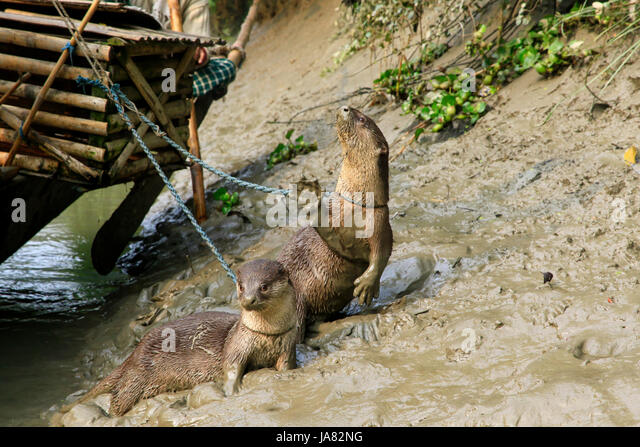 Trained otter using in the traditional otter fishing at Chitra River in Narail district. This method has been practiced - Stock-Bilder