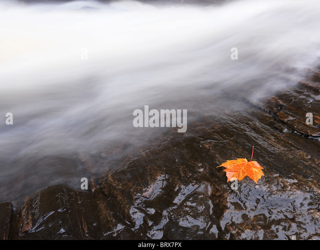 Red maple leaf lying on a rock close to a waterfall stream. Ontario, Canada. - Stock Image