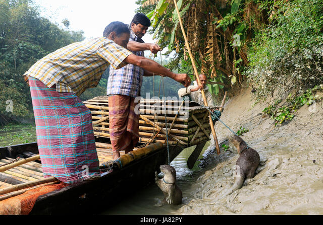 A fisherman feeding trained otters before they go to fishing in the river. Narail Bangladesh. This method has been - Stock-Bilder