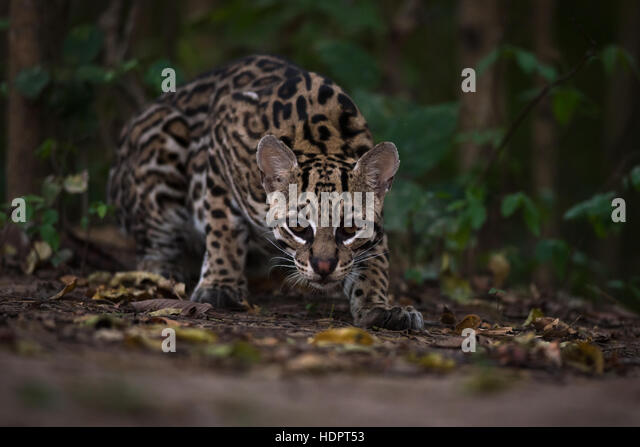 A wild Ocelot from the Pantanal stares at the camera - Stock Image
