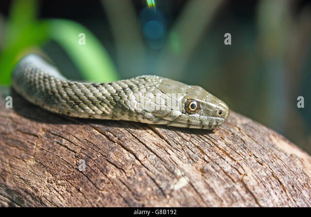 The dice snake, natrix tessellata, is a nonvenomous snake, close-up - Stock Image