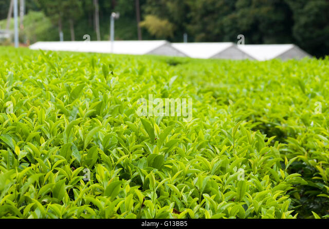 The green house for growing green tea, SHizuoka, Japan - Stock Image