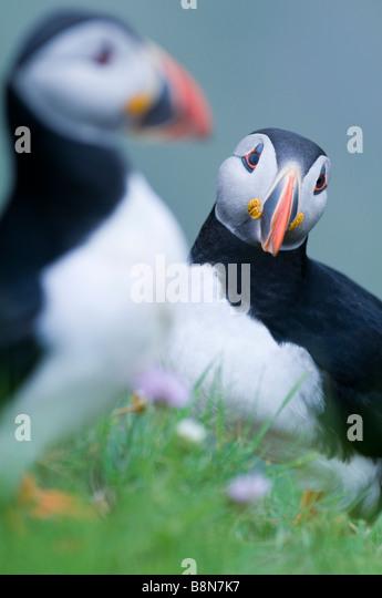 Puffin Fratercula arctica Sumburgh Head Shetland June - Stock-Bilder