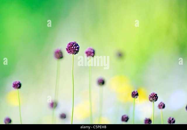 violet flowers on field - Stock Image