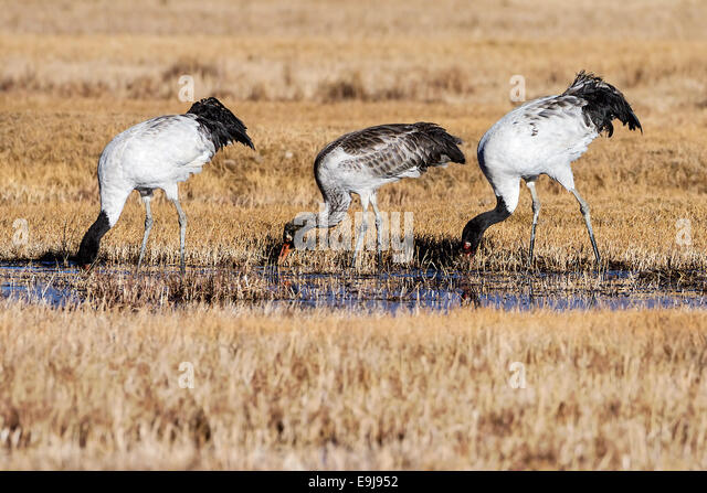 Black-necked Crane (Grus nigricollis) family foraging together at winter feeding ground, Lake Napa, Yunnan, China - Stock Image