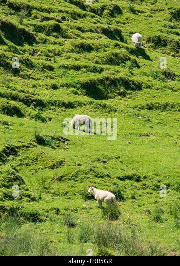 Hillside sheep grazing, Colville, Coromandel Peninsular, New Zealand - Stock Image