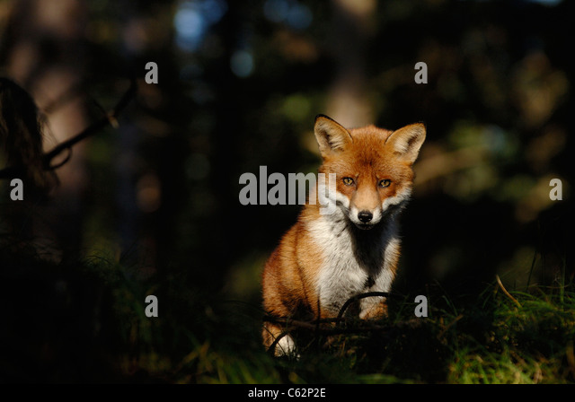 RED FOX Vulpes vulpes  An adult male in its winter coat pauses in a patch of sunlight in a pine forest Lancashire, - Stock-Bilder