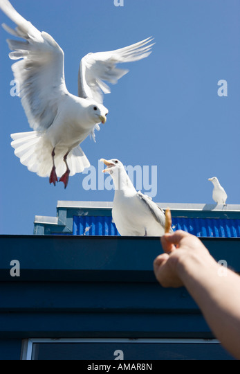 A person feeding french fries to seagulls - Stock-Bilder