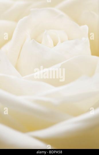 Close up of single white rosebud - Stock Image
