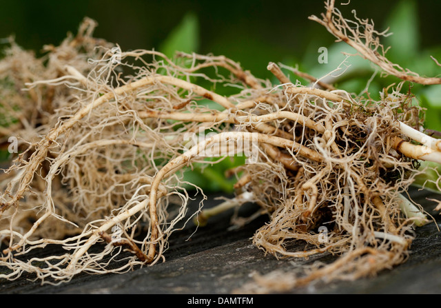 common valerian, all-heal, garden heliotrope, garden valerian (Valeriana officinalis), roots, Germany - Stock Image