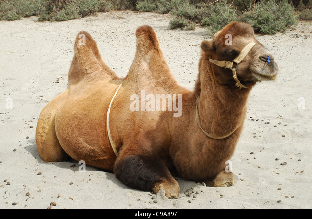 A Shaggy Bactrian Two Humped Camel Which Are Shorter And Stouter Their