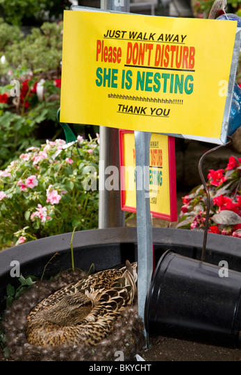 Duck nesting at garden store in Boise, Idaho USA.  She has returned for nearly 10 years to hatch ducklings. - Stock Image