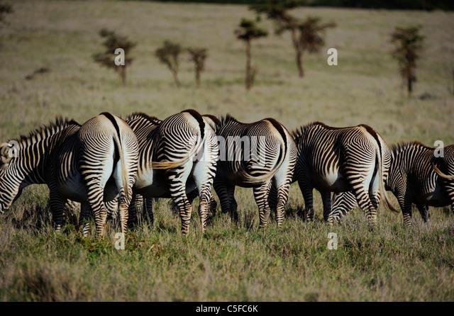 Grevy's zebra (Equus grevyi). Kenya - Stock Image