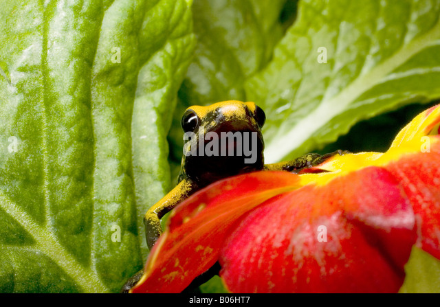 Poison dart frog (Phyllobates bicolor), Colombia - Stock Image