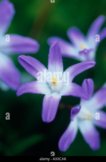 Glory-of-the-snow, Glory, of, the, snow, Chionodoxa, Purple, - Stock Image