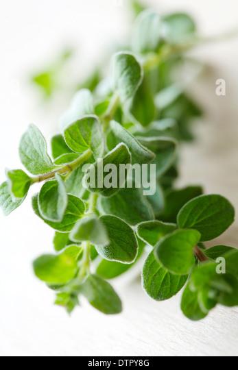 closeup of fresh oregano sprig - Stock Image