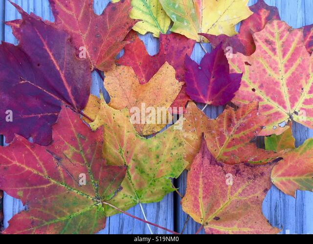 Colorful autumn leaves - Stock Image