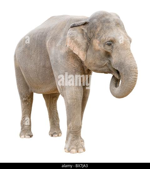 Asian elephant female telling secret isolated on white background - Stock Image