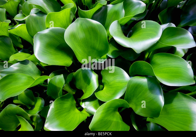 Close up of Hosta leaves. Kauai, Hawaii. - Stock Image