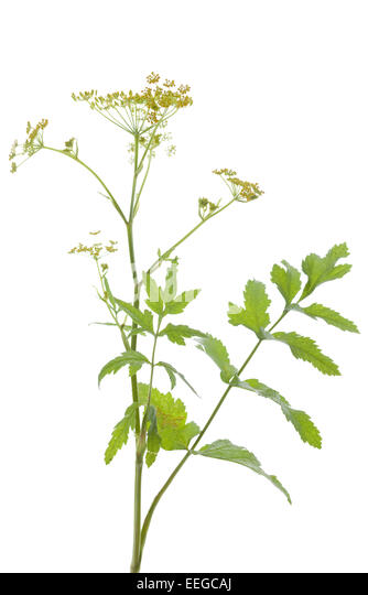 plant parsnip (Pastinaca sativa) on white background - Stock Image